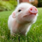 And it's a picture of a cute piglet