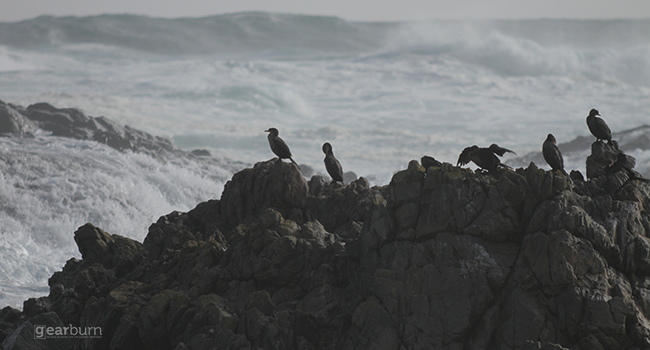 Sigma Birds on a Rock