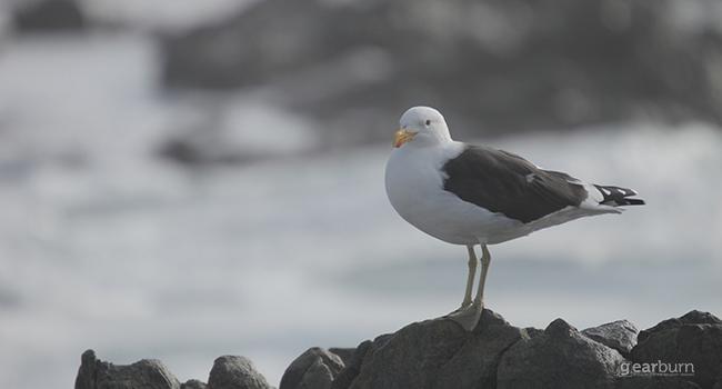 Sigma Gull