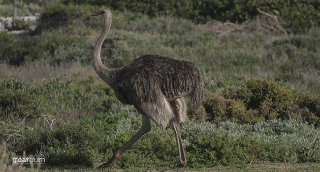 Sigma Ostrich Movement