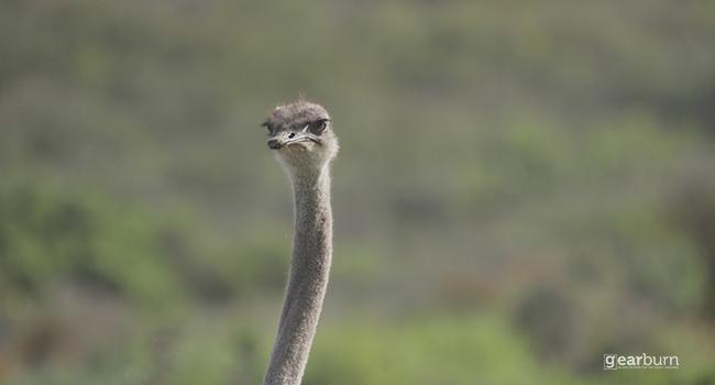 Sigma Ostrich Close