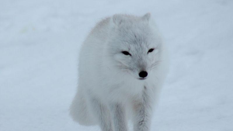 arctic fox pixabay robynm