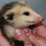 opossum snapchat killing born1945 flickr