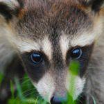 mprraccoon raccoon anna salisbury -unsplash