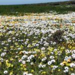 instagram western cape wild flowers west coast flowcomm cc by flickr