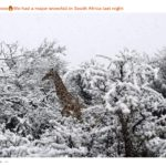 reddit giraffe snow south africa