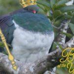 kekeru wood pigeon new zealand bird of the year forest and bird