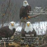 bald eagles stewards mississippi