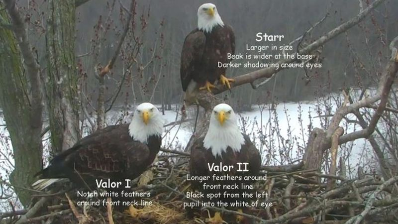 bald eagles stewards mississippi