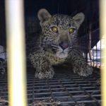 leopard benoni sawrc facebook