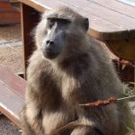 chacma baboons cape town
